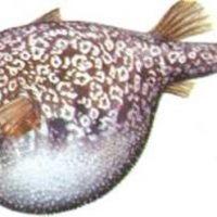 ¿Cuál es el pez más raro?