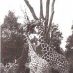 ¿Cómo se alimenta una jirafa?