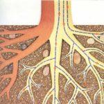 La labor de las raíces