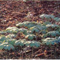 Una planta medicinal india