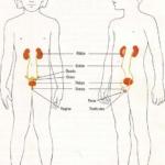 Mis riñones y otros órganos